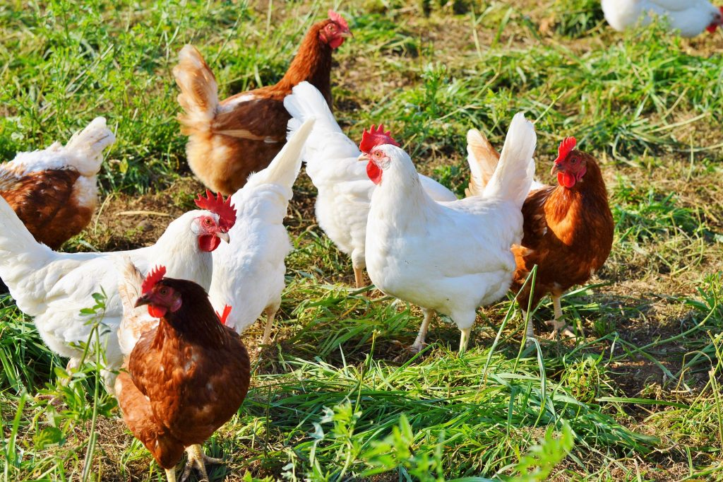 Kippen, dieren