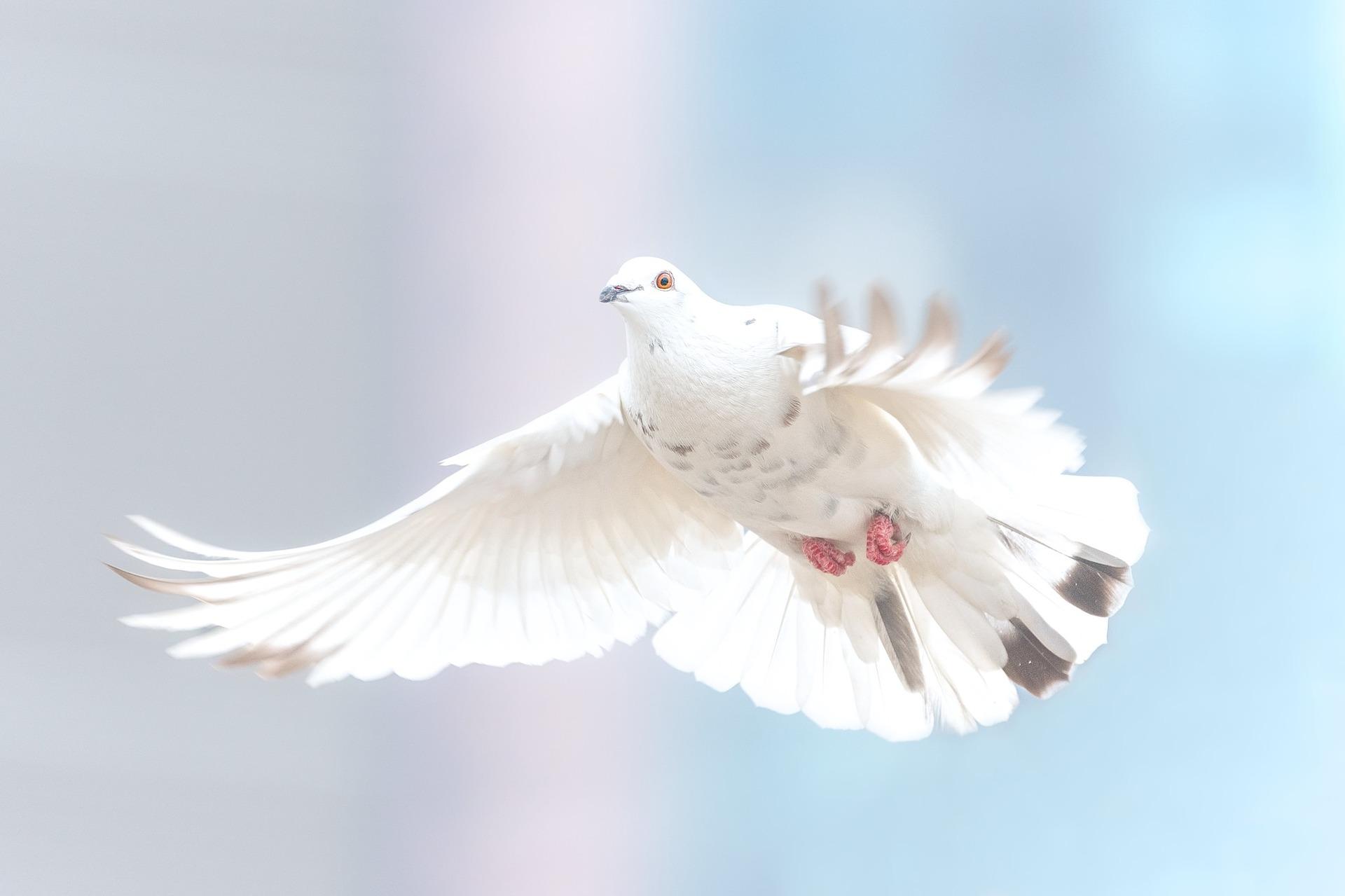 Duif, Vrijheid