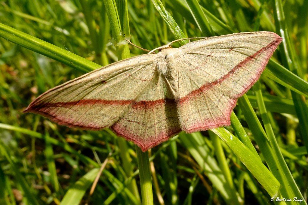 vlinderwandeling Prekers mei 2019