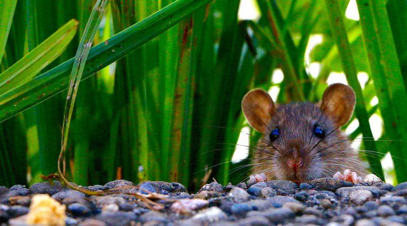 Plaagdieren, rat